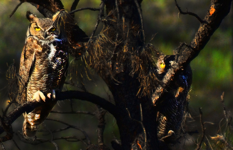Great Horned Owl wild met  tweede