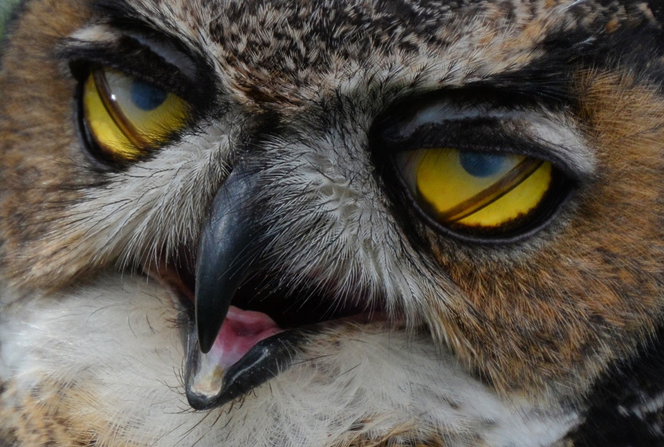 Great horned opvang Owl  2.JPG