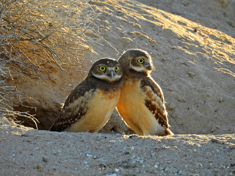 John Wise burrowing owls