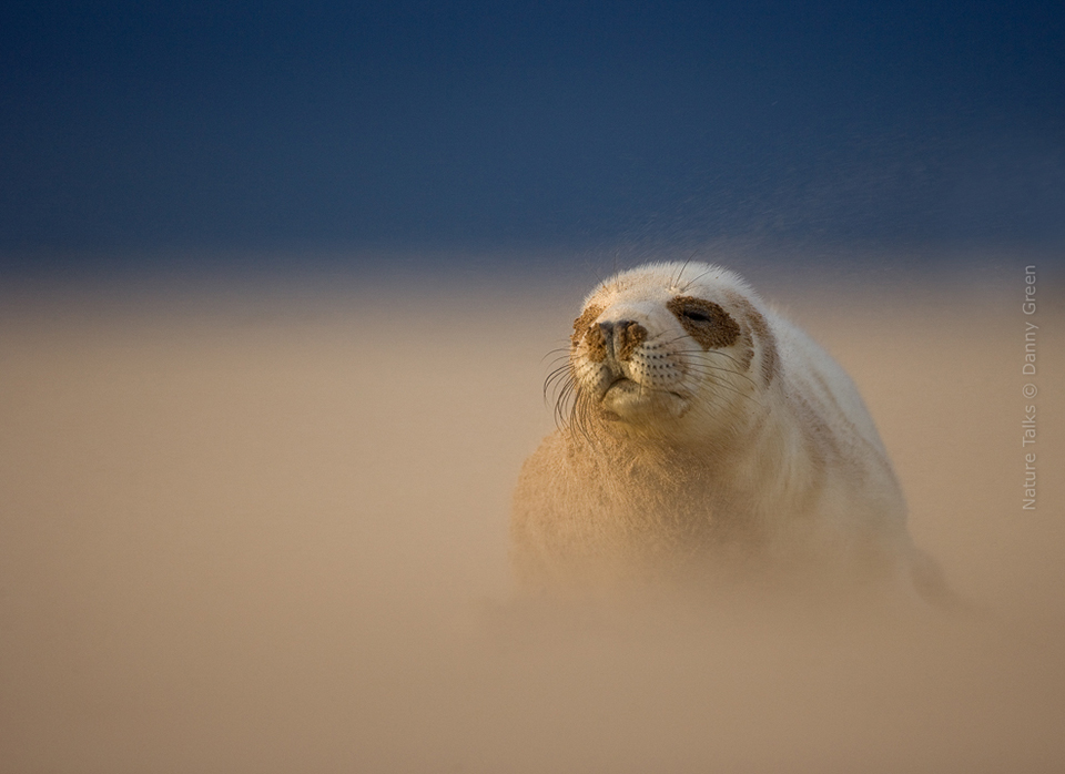 Nature Talks Photo Festival Danny Green Grey Seal Pup in a sandstorm