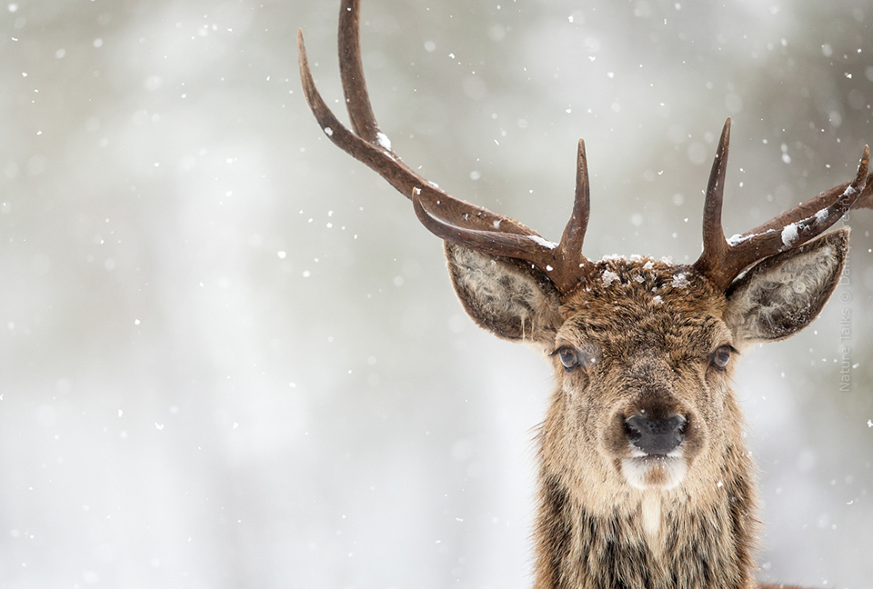 Nature Talks Photo Festival Danny Green Red Deer and Snow