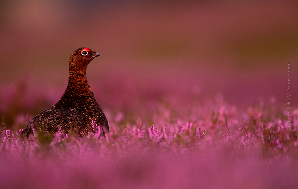 Nature Talks Photo Festival Danny Green Red Grouse amongst the heather