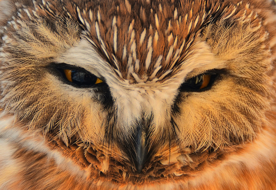 Northern-Saw Whet Owl