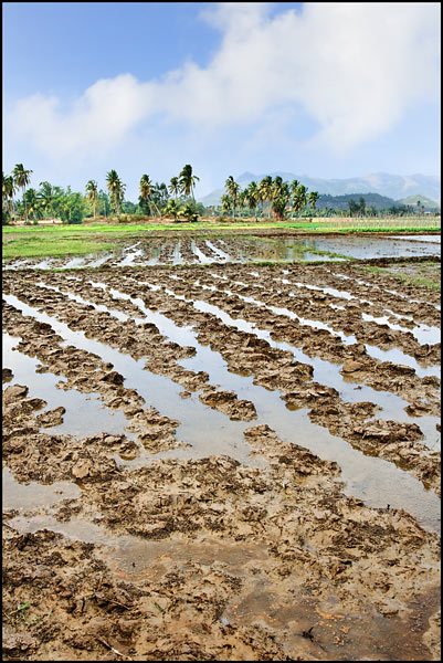 Flooded rice field with palm trees at horizon