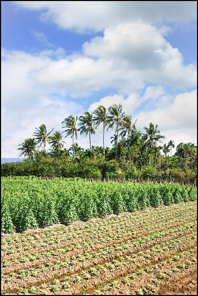 Agricultural field with bush and palm trees